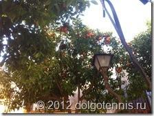 Таррагона. Апельсиновое дерево.