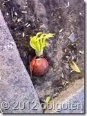 Таррагона. На земле под апельсиновым деревом пророс репчатый лук. К чему бы это?